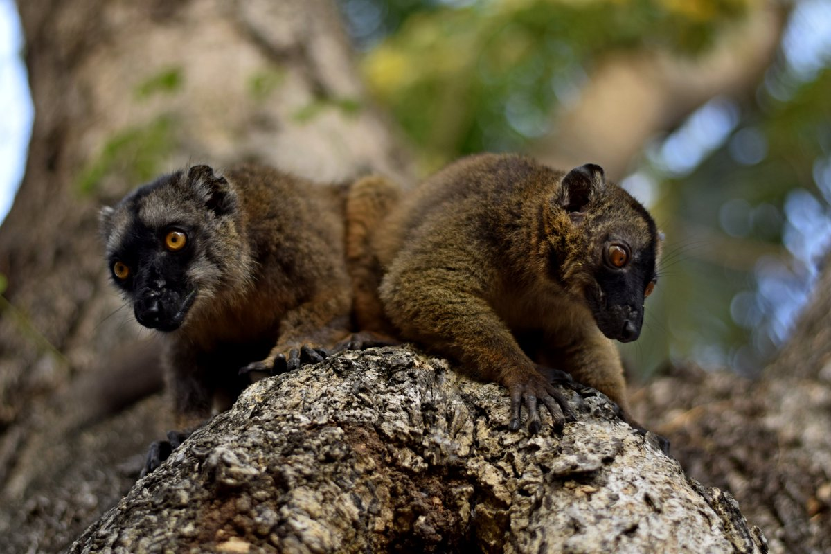 Les Frères Maki. 2019 #mayotte #animallovers  #Africa #France #EcologicalEmergency