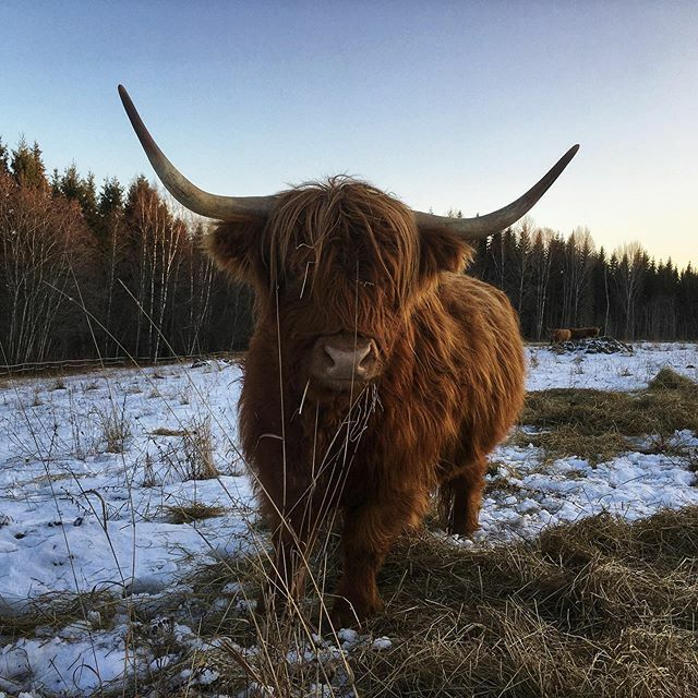 #highlandcattle #highlandcow #cow #cows #cattle #farmlife #牛 #finland #farm #cute