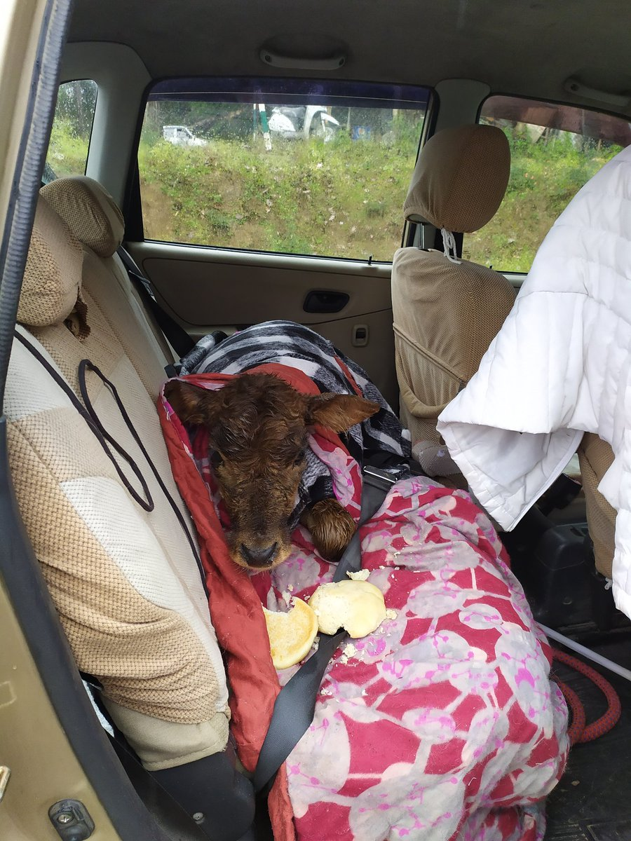 @jairamthakurbjp @ADevvrat @narendramodi @rashtrapatibhvn @RSSorg It is terribly cold here. Lil guy was sitting in d rain .I got him home 4 my peace of mind. After couple of months when he's bigger a #cow shelter will adopt him. Pl help #animals. If it's in our #world then it's our responsibility. Pl do what u can 🙏Just 4 ☝#MILK #dairy #love