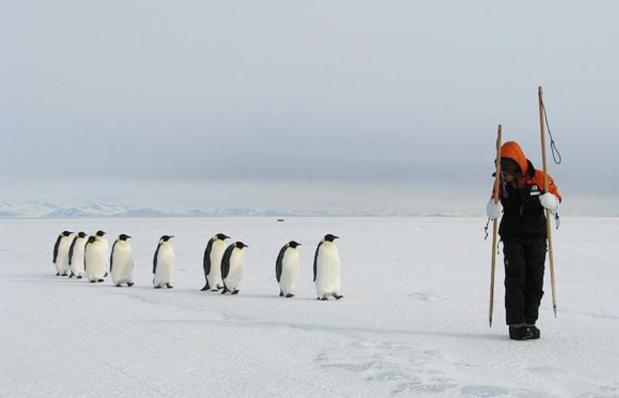 【コウテイペンギン】南極に生息するペンギン。人間を見かけると近づいてきますがペンギンは自分以外の二足歩行の生き物を「大きいペンギン」と認識しているからだそうです。1枚目の画像は前にいる人間を大きいペンギンと思い後をついていっている様子。
