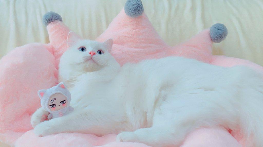 予約したよ報告ありが桃ございます…!白桃は1ページですが、めくってもめくっても真っ白な猫さんだらけの尊い本なので本当におすすめです🐾ちなみに現在の白桃はこんな巨大なわたあめになりました☁️✨