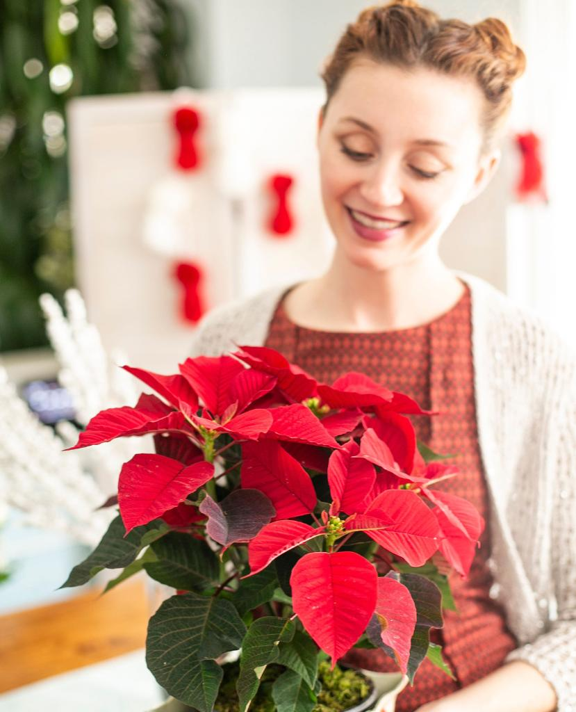"""Happy #PoinsettiaDay! Here are some #poinsettia facts: (1) They come in over 100 colors! (2) The botanical name is euphorbia pulcherrima, which translates to """"very beautiful."""" (3) The red blooms are actually """"bracts,"""" not flowers. Read more facts:"""