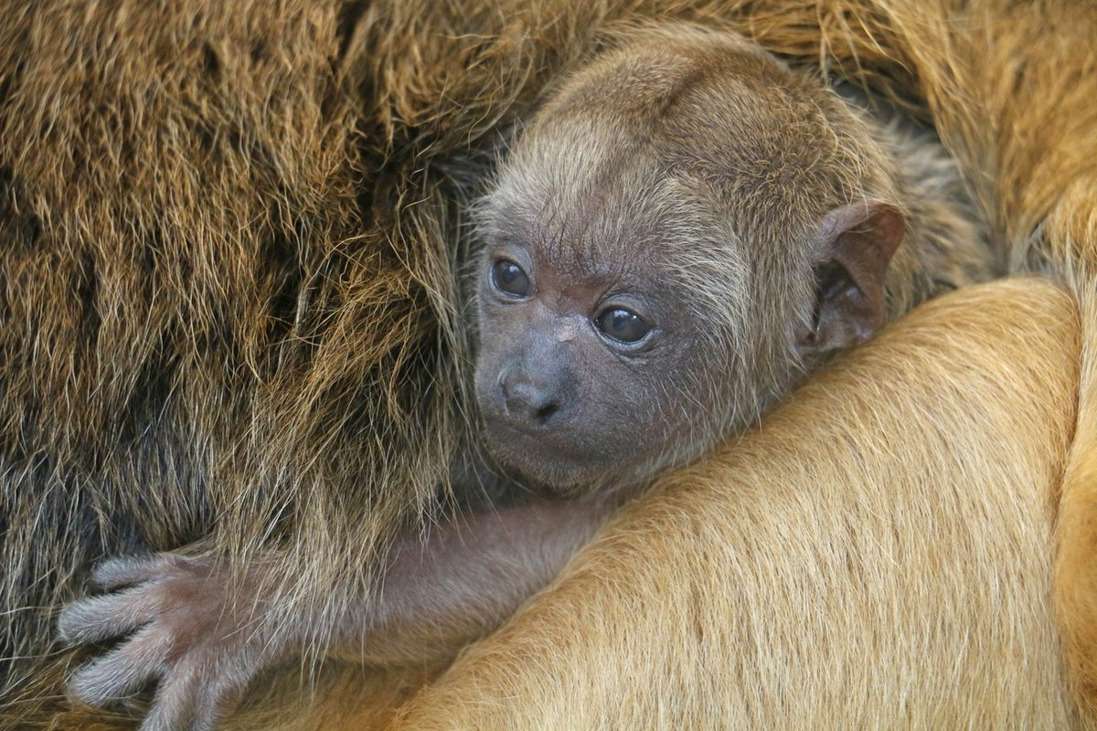 """🙈 """"Zoo"""" Born Tucker will be two months old on Christmas + military discounts ➜ Just two reasons to check out the Roger Williams Park Zoo (Providence RI)    #Providence #Rhodeisland #animals #deals #RIdeals #military #family #zooborn #monkey Warwick"""