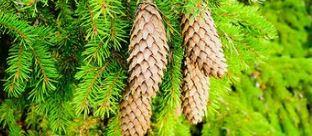 Oltre 3 milioni di alberi naturali per il Natale d...