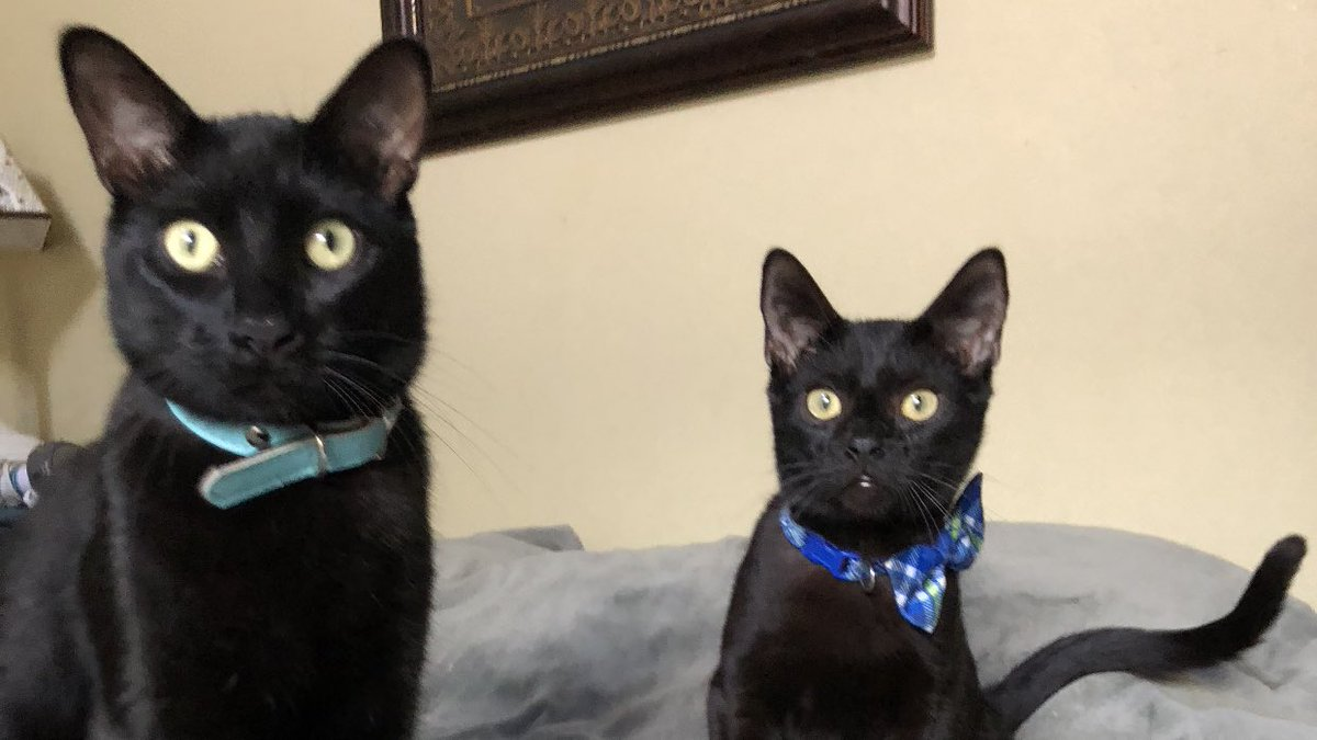 I was such a little guy just one year ago!  #Cats #CuteCats #CatsOfTwitter #catsofinstagram #panfur #meow #blackcats #pet  #kittylove #catlover<br>http://pic.twitter.com/JbCZO9aTvk