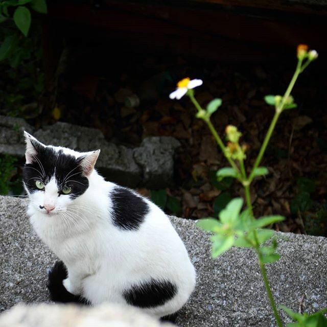 隠れたつもりが hiding cat #cat #catslife #catsagram #catoftheday #japan #okinawa #沖縄県 #gatto #gato #canon #X7 #NEKOくらぶ #nekoclub #ねこ #猫のくらし #my_eos_photo #hiding #portrait #白黒 #고양이 #kedi #katzen