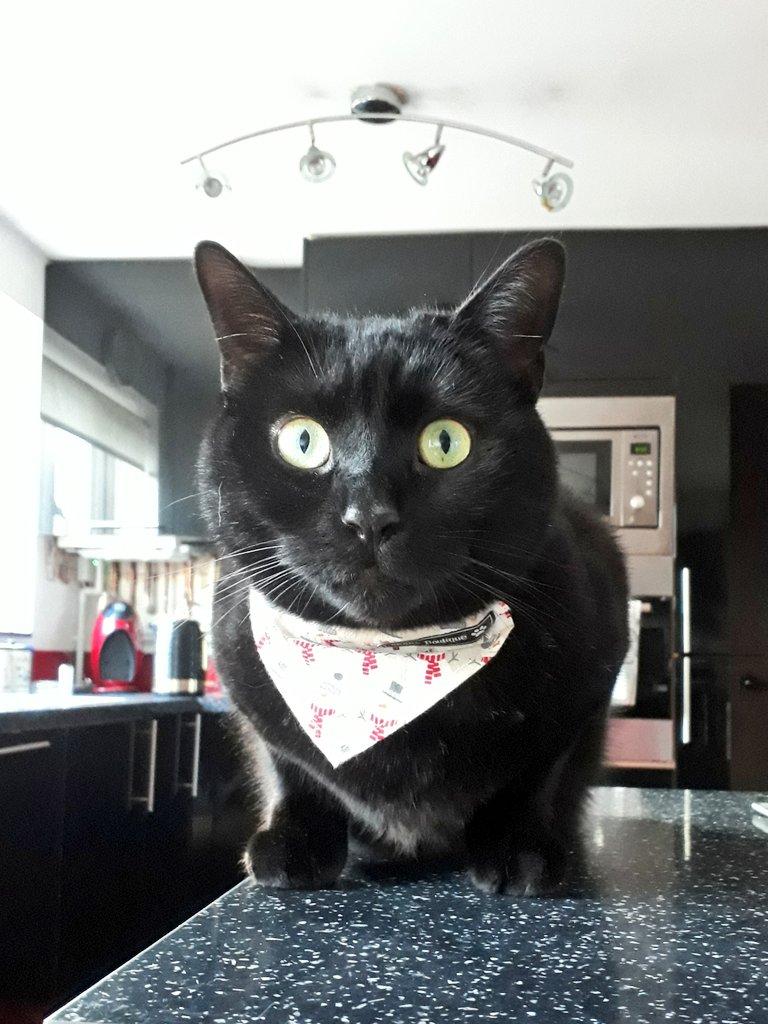 Pushkin - Do you like my new bandana ? #CatsOfTwitter <br>http://pic.twitter.com/C9BXKlNpuB