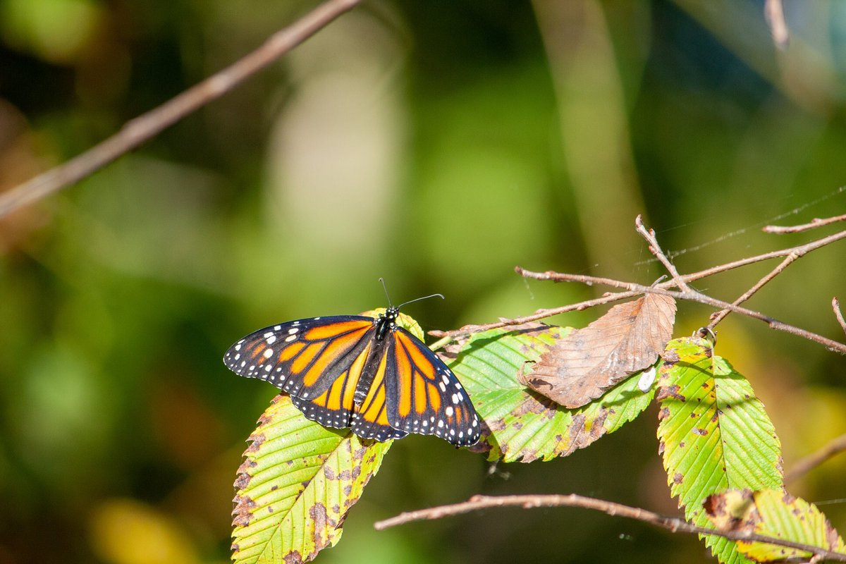 Monarch Butterfly from before the November freeze. —#monarch #butterfly #butterflies #nature #naturephotography