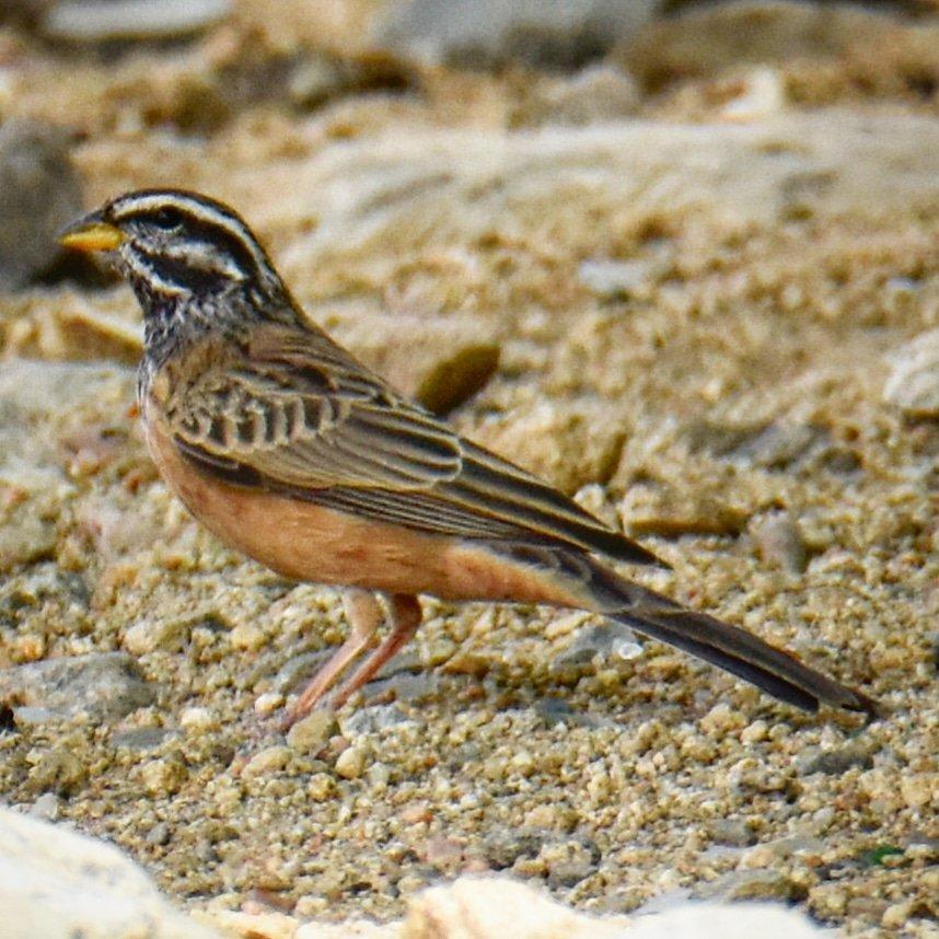 Striolated BuntingLocation: #Taif #Makkah Region #SaudiArabia#Birds #ksa #wildlife #nature #naturephotography #photography #travelphotography #amazing#birdsphotography #sauditourism #instadaily #beauty #wildlifephotography #beautiful @SaudiMagazine @IASArabia @SCTAEN @SeeSaudi