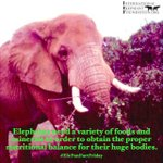 Image for the Tweet beginning: Happy #EleFunFactFriday! Elephants need a