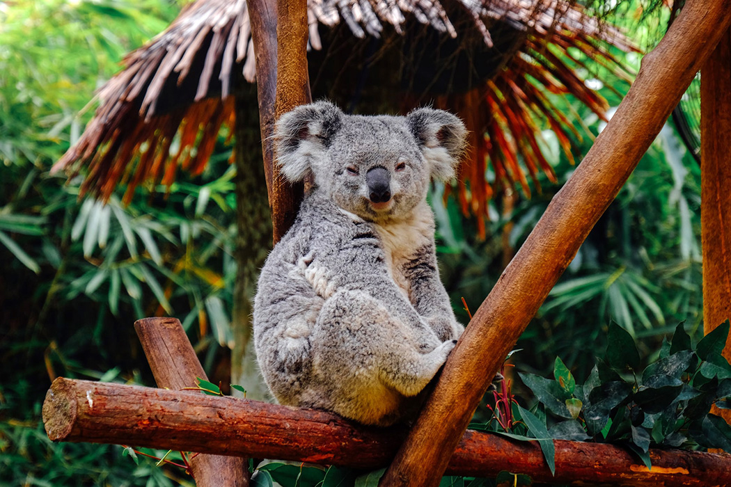 #FunFactFriday Koala bears fingerprints are so similar to humans that they've been misidentified at crime scenes. <br>http://pic.twitter.com/U31dX2dVZi