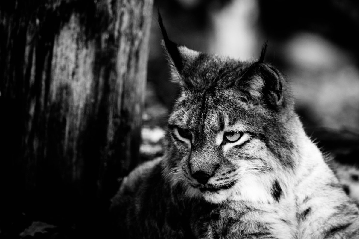 HourlyLynxes presents: