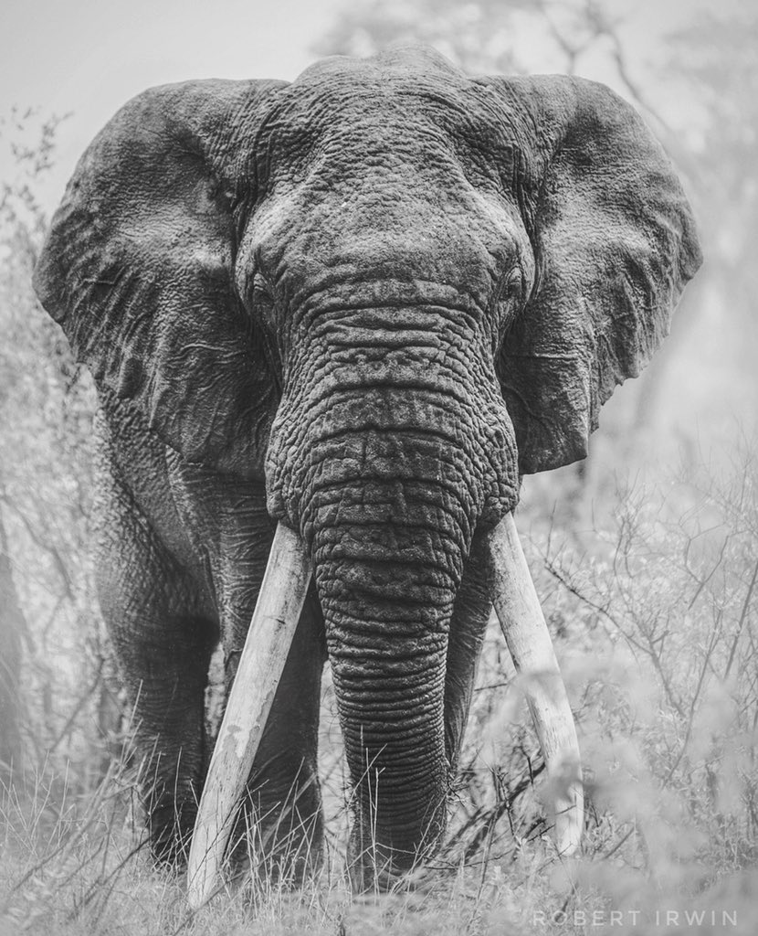 Photographing one of the last of the 'big tusker' elephants left in Africa was so surreal. A rainy, misty morning created this foggy glow around him. Unforgettable experience ...