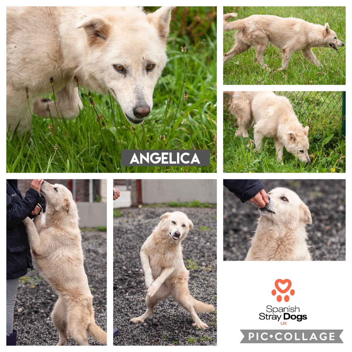 ANGELICA - ANGEL  YOUR HOME NEEDS  Angelica is one of the dogs we rescued from harsh pounds in North of Spain. She hurt her leg jumping & was very sick, we couldn't leave her, we took her into our care.  Adoptions@spanishstraydogs.org   http:// spanishstraydogs.org.uk/dog/angelica/       #AdoptDontShop<br>http://pic.twitter.com/DPzuZrRs68