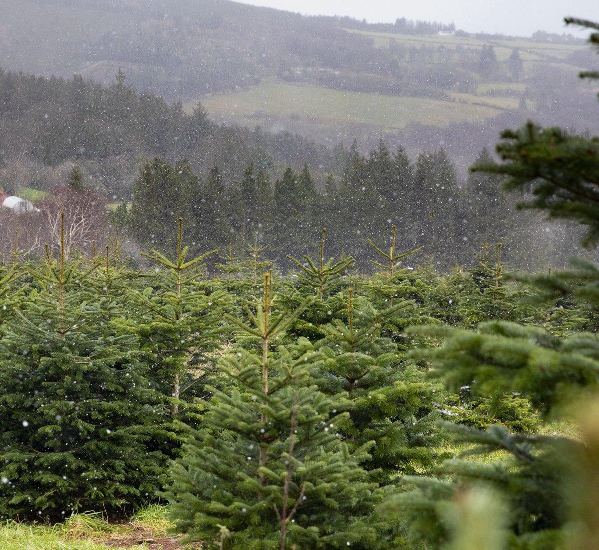 Wicklow Way Christmas Tree Farm Wicklowwaytrees Twitter