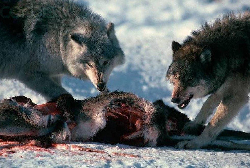 завершением зачем фото волка была, светло