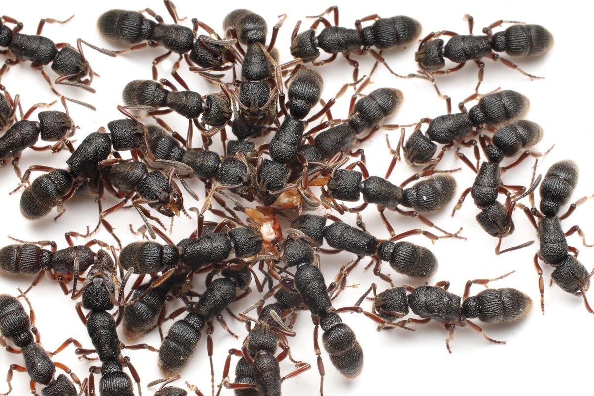 フトハリアリ Pachycondyla rufipes。このアリは働きアリも胸部に厚みがあって、さらにサイズもほぼ変わらないため、女王が分かりにくいと有名なアリ。と言ってもトゲオオハリアリ違って、女王は胸部の構造が違いますので見慣れればすぐに分かります。