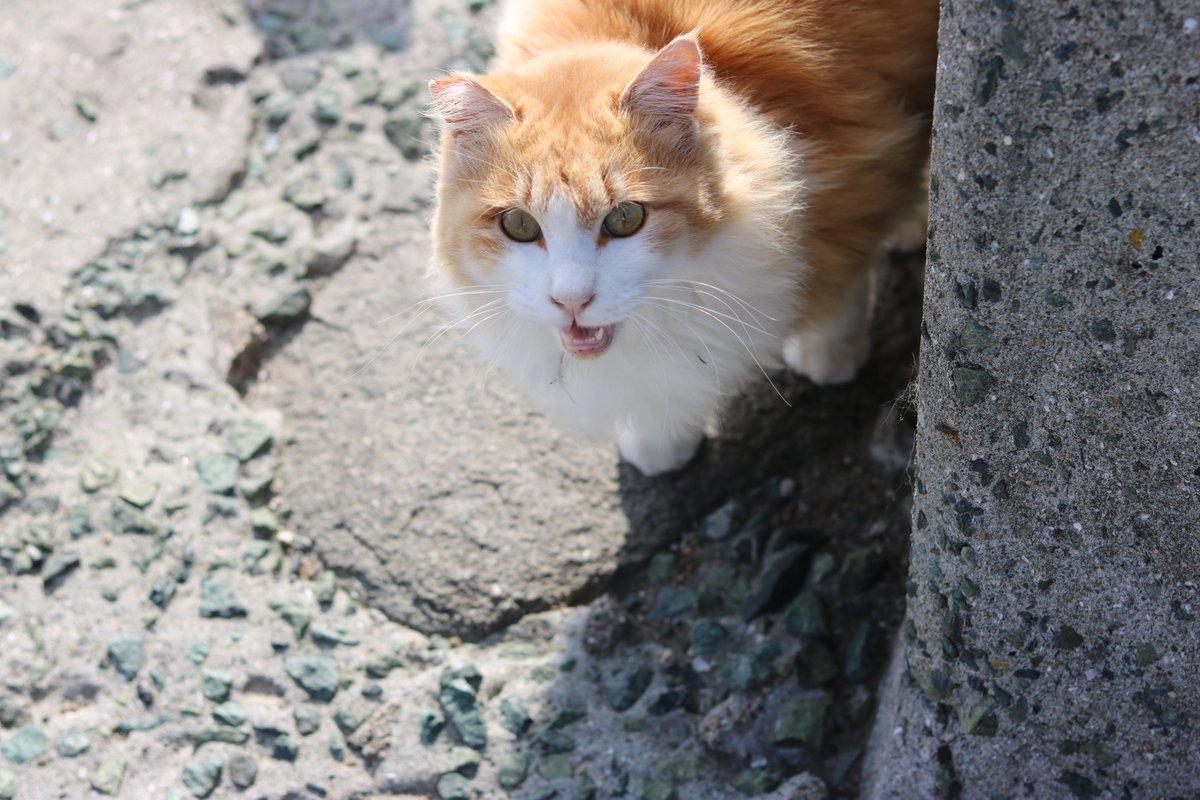 青島のイケメン猫(一番)のジュリーちゃん(男の子)です。とても外猫とは思えない美形です。#ジュリーちゃん