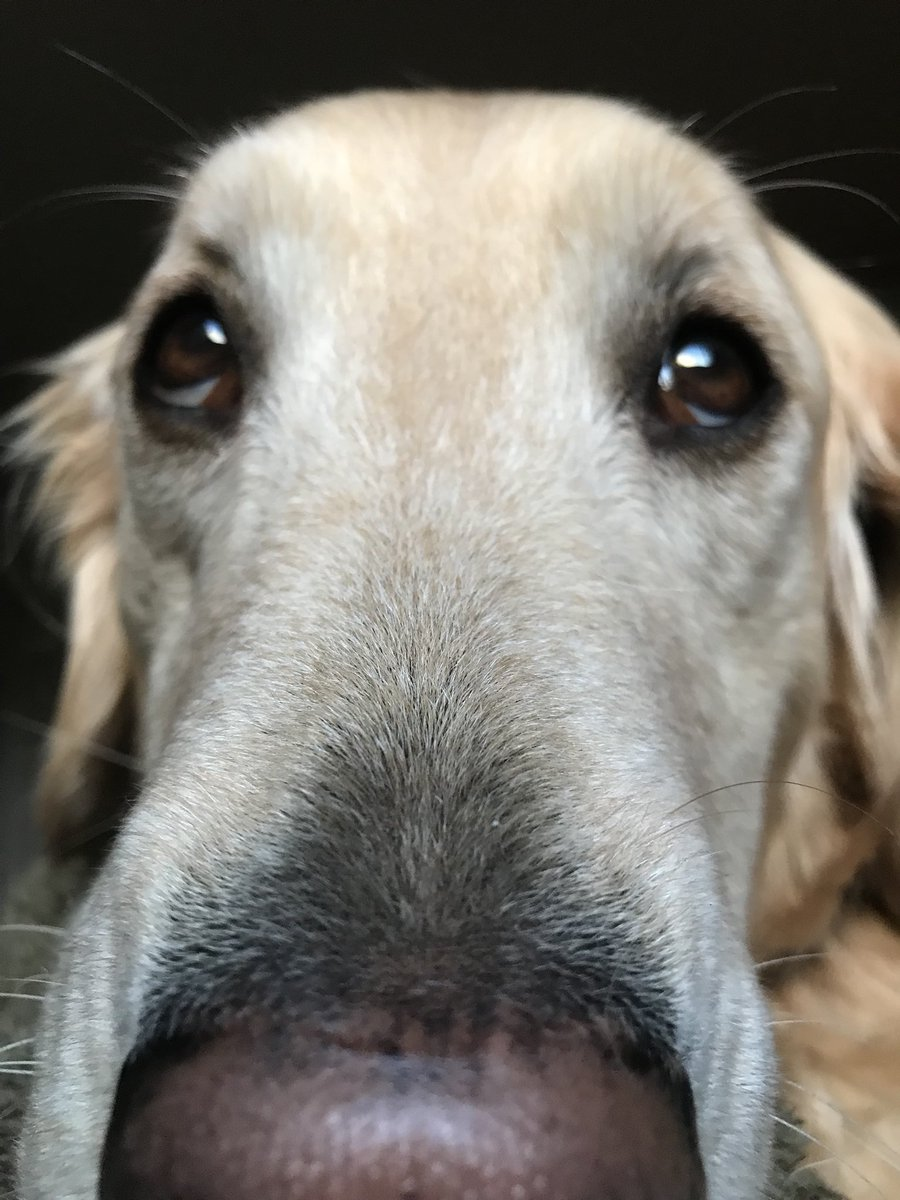 Look who woke me up this morning! It's my #goldenretriever alarm clock.... Sage. ❤️. #rescuedog #therapydog #training #love