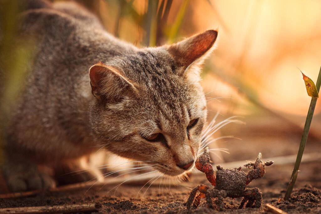 A Cat Playing With A Crab