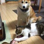 猫ちゃんにまたたびいりの「ニジマス型のぬいぐるみ」を与えたらものの数分で破壊されてしまった!