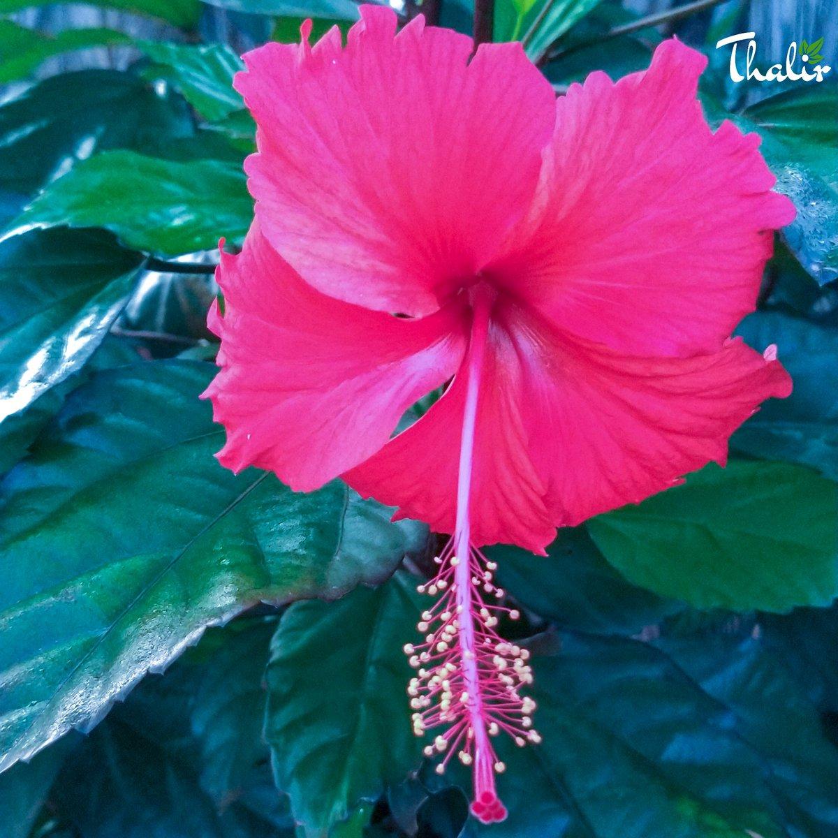 #thalir786 Hibiscus Rosa Sinensis II Pic Courtesy: #teamThalirIndia II Posting: @thalirpics II©2019 @thalirindia II flower Collections #flower #collections #motography #motoonepower #photography #macrophotos #photoexpress @motorolaindia @Photoshoppic.twitter.com/EnrXQ6lhJO