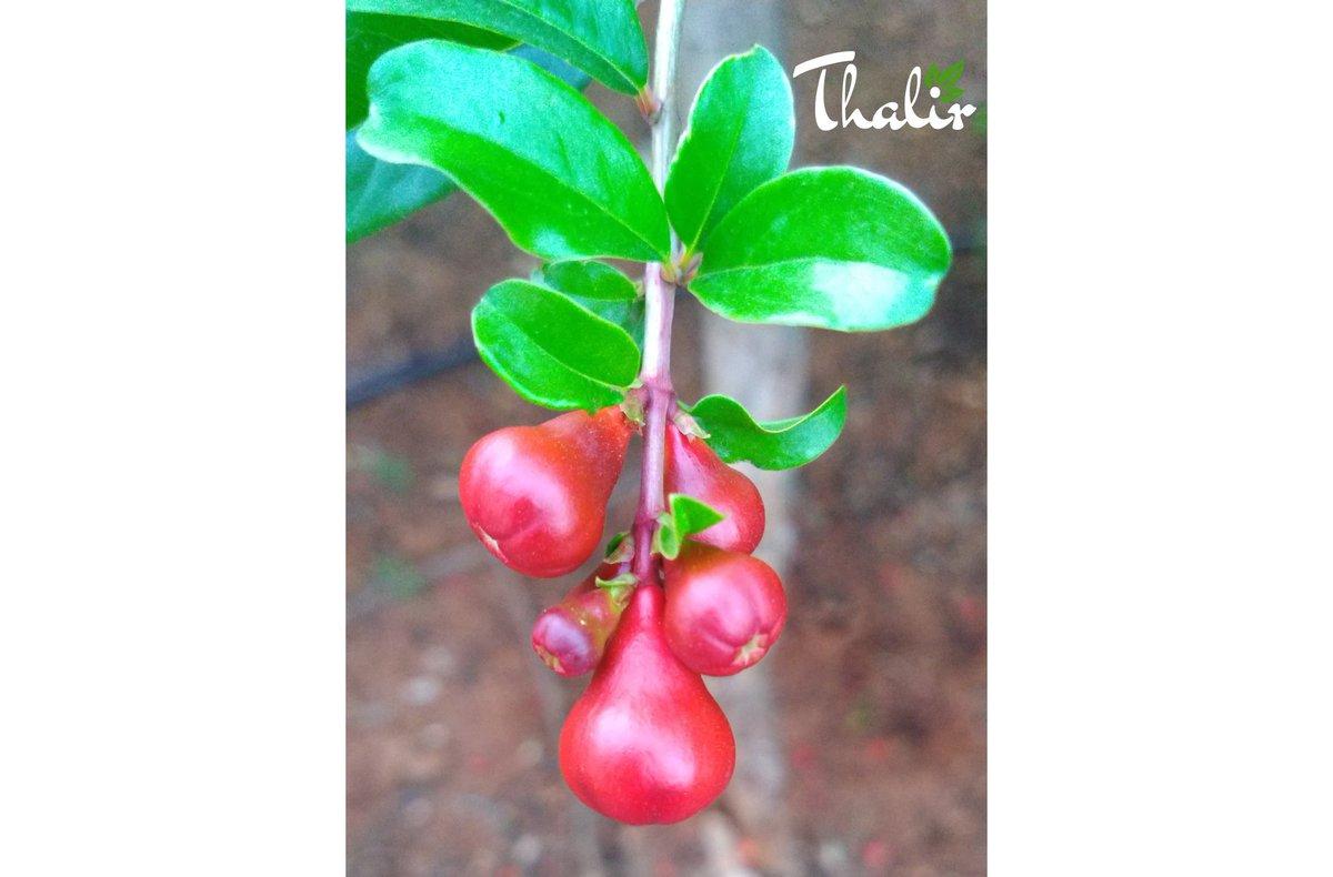 Flower Collections Bud of Pomo!! #flora #flower #collections #motography #motoonepower #photography #macrophotos #photoexpress @motorolaindiapic.twitter.com/1UzxQ7ADUA