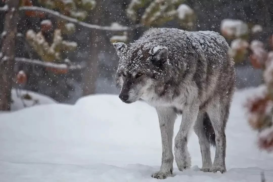 поэтому последнее картинка лес волк снег этого поселка задумываются