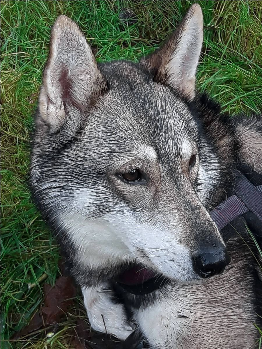 December's Tamaskan of the Month is Sylvaen Lord Nagafen (Nagafen)Blustag Elliot x Quicksilver Mercury RisingHe's available for stud, contact Del Bardial for information #TDR #TamaskanDogRegister #TamaskanDog #Tamaskan #Dog #TamaskansOfTwitter #DogsOfTwitter #TamaskanOfTheMonth
