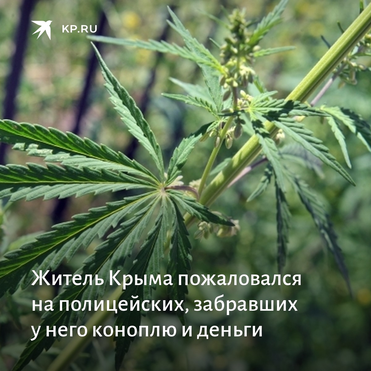 Где в кемерово растет конопля сорт марихуаны лучшие