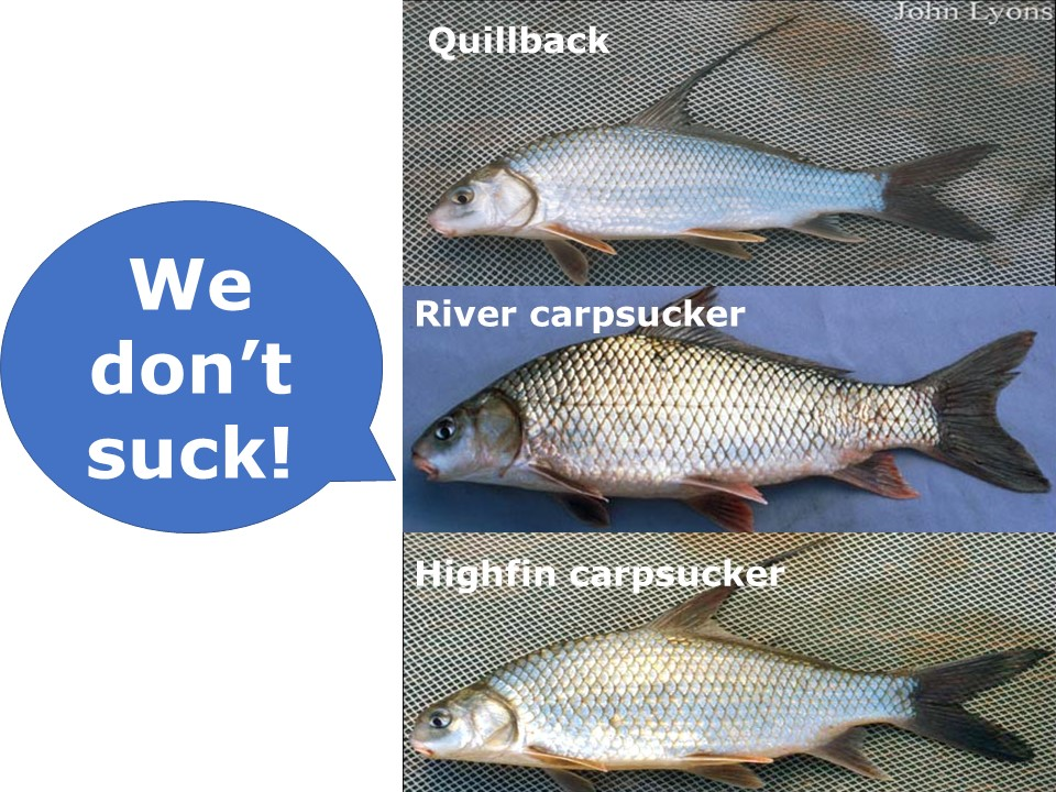 """the three species of carpsuckers with a dialogue bubble saying """"we don't suck!"""""""