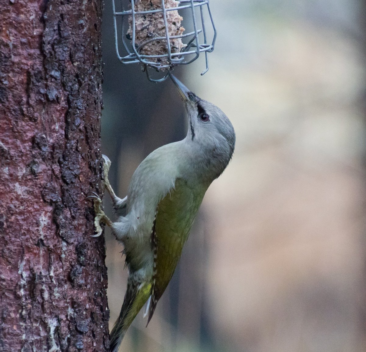 Hel Hath No Birdies Blog Post: Crimbo Run Up 2019. Winter birding with Woodpeckers and Nutcrackers. #birding #finland #nutcracker #greyheadedwoodpecker https://helhathnobirdies.blogspot.com/2019/12/crimbo-run-up-2019.html?spref=tw…pic.twitter.com/jzcBCYQhLe