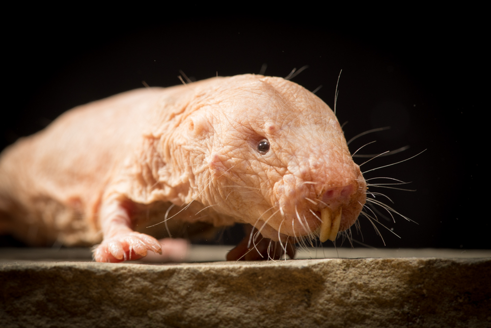 The naked mole rat's latest superpower