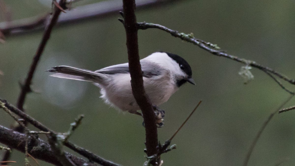 Hel Hath No Birdies Blog Post: Crimbo Run Up 2019. Winter birding with Woodpeckers and Nutcrackers. Willow Tit, harsh and noisy though they be, are silver woodland beauties. #birding #finland #nutcracker #greyheadedwoodpecker #willowtit https://helhathnobirdies.blogspot.com/2019/12/crimbo-run-up-2019.html?spref=tw…pic.twitter.com/RIoVCc3eeU