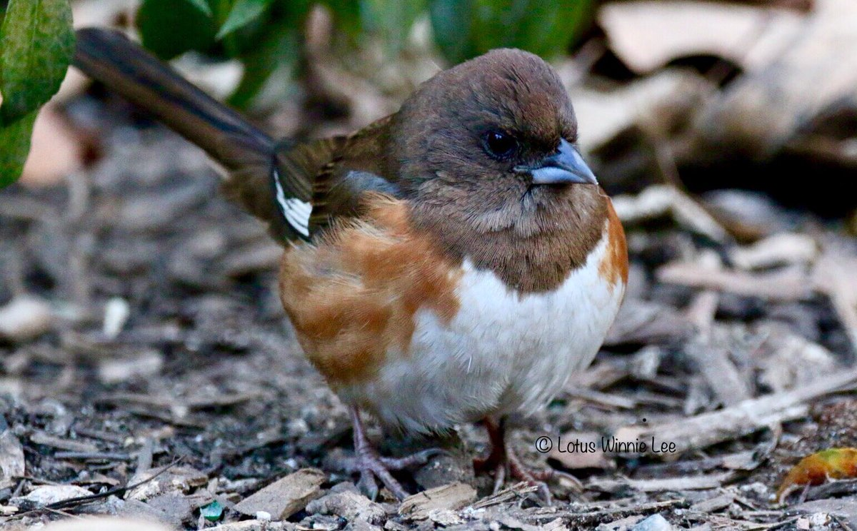 Another Winter survivor in Bryant Park, the female Eastern Towhee. She was looking very healthy and energetic this morning. What a pretty girl! #easterntowhee #birdwatching #wildlife<br>http://pic.twitter.com/fIEBTecXMY