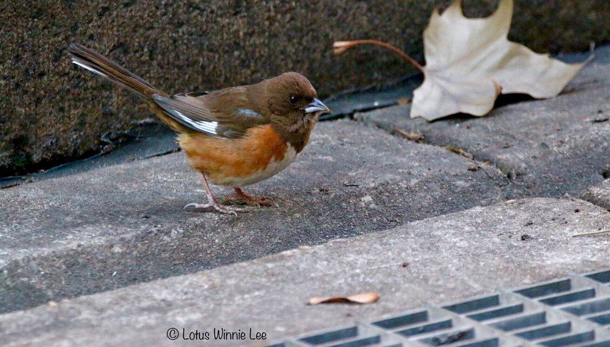 Looking at the pictures and seeing the behaviors of the birds I guess the subway grates are really an integral part of their Winter survival in Bryant Park. #easterntowhee #birdwatching #wildlife<br>http://pic.twitter.com/bZmOtc0TH1