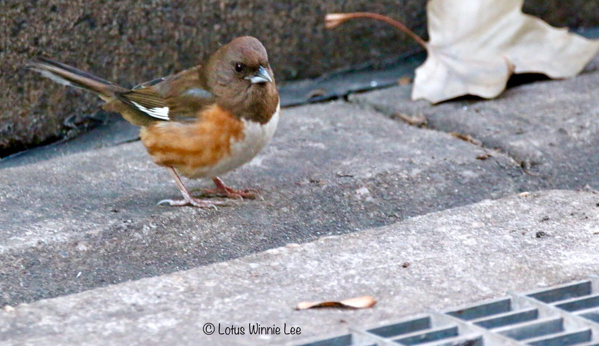 Just one more photo of the female Eastern Towhee in Bryant Park early this morning... #easterntowhee #birdwatching #wildlife<br>http://pic.twitter.com/2o4wtohvvn
