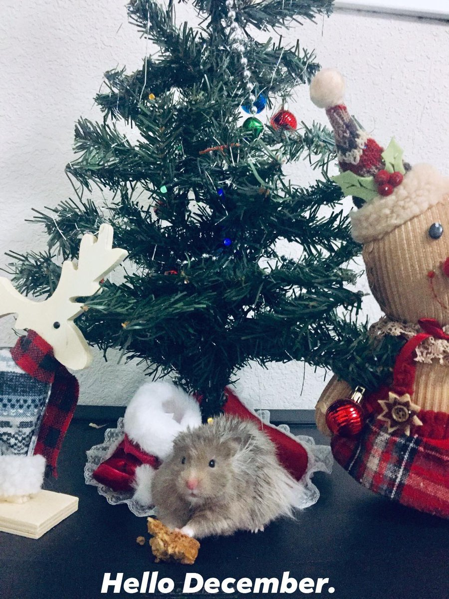 Not the greatest tree but we have the greatest little hamster  #HappyHolidays #GravyTheHamster #fingerscrossed<br>http://pic.twitter.com/yBr6Jnlqc8