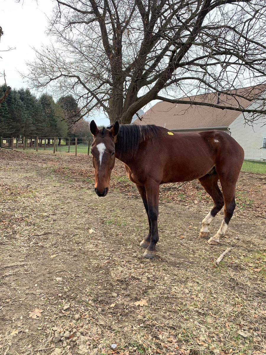 American FRISKIE is home and his new family is in love💕💕💕 He is extremely well trained. He picks up his feet as soon as you touch them. He doesn't need his halter to go out or be led. He goes with a lead rope around his neck. He stands very well too. They said