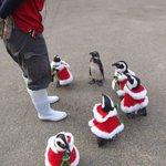 松江フォーゲルパークのペンギンたちもクリスマスの用意をしているようです!!