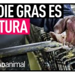 #ÚltimaHora   Lanzamos campaña #StopFoieGras para poner fin a la crueldad del foie gras en España.   Firma la petición ahora -> https://t.co/TE0pHIE7WS