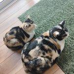 【同じ日に生まれたはずなのに】猫の姉妹の体格差に共感の声が相次いでいます