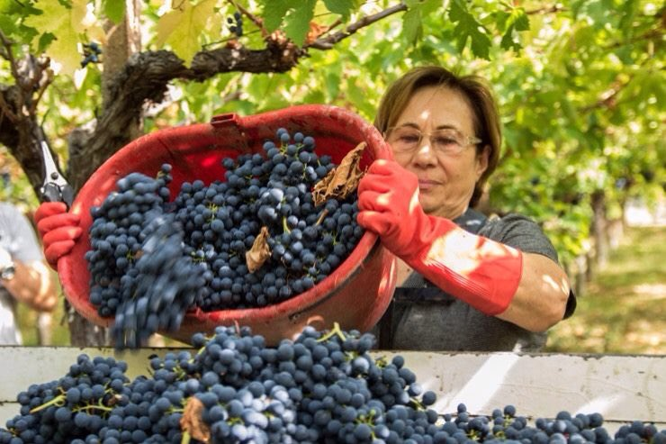 What awaits you on your Abruzzo Tour? Day 5: in September grape picking with the locals. Come to the real Italy! #absolutelyabruzzo #absolutelyabruzzotours #abruzzo #abruzzi #grapepicking #italianamerican #italy #bespoketours