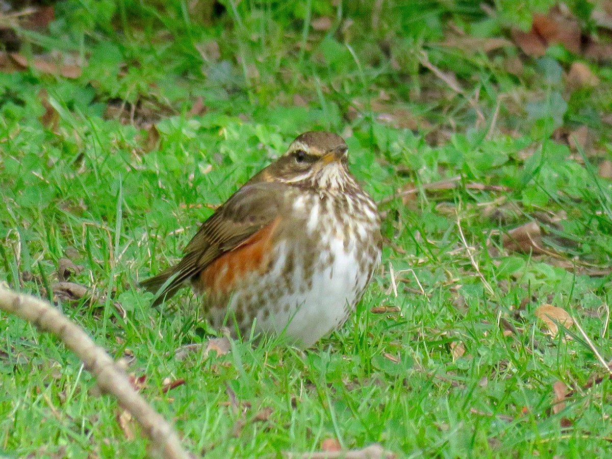 #AdventCalendar2019 #BexleyWildlife #Day23 Redwing being observed in #Bexley now! Over 50 observed at Lamorbey Park yesterday (Ian Stewart) and hundreds arriving at Danson Park. Have you seen a Redwing this year yet?    https://www. rspb.org.uk/birds-and-wild life/wildlife-guides/bird-a-z/redwing/  … <br>http://pic.twitter.com/azeWFFBLSq