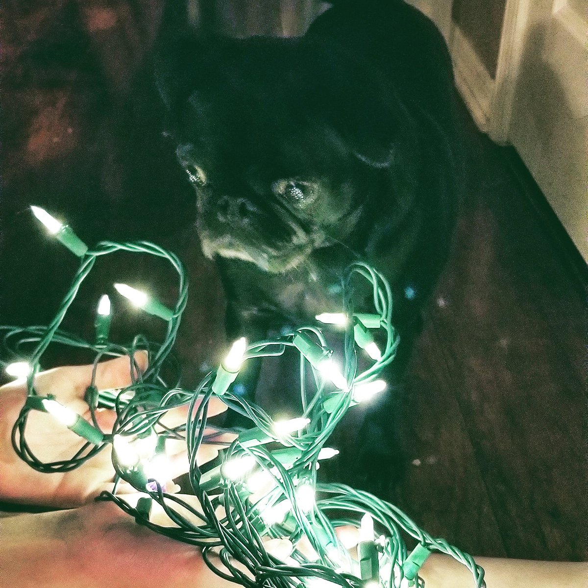 Me is mesmerized by the twinkles!!!   #pug #pugs #dogsoftwitter #dog #dogs #strangerthings #Christmas #MondayNightMiracle #Christmas2019<br>http://pic.twitter.com/LkHCpGIcBa