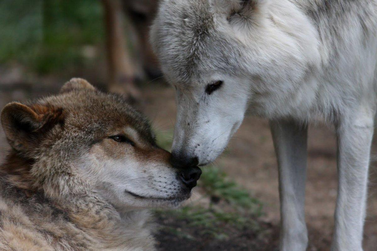 обнять волка фото левой коробке