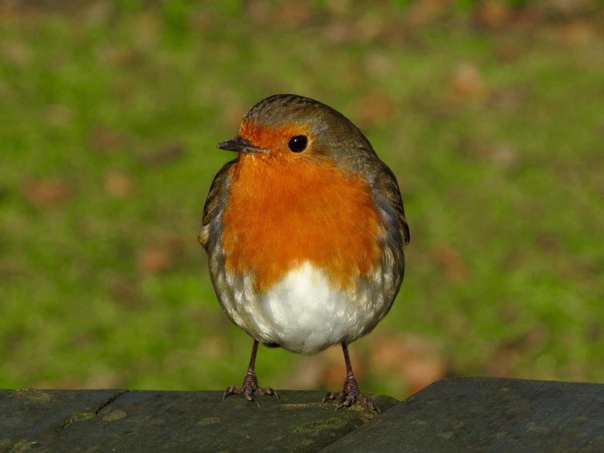 #AdventCalendar2019 #BexleyWildlife #Day24 Wishing everyone a wonderful Christmas time and a happy & healthy new year!   #londonbirds<br>http://pic.twitter.com/GPSMJQrwSY