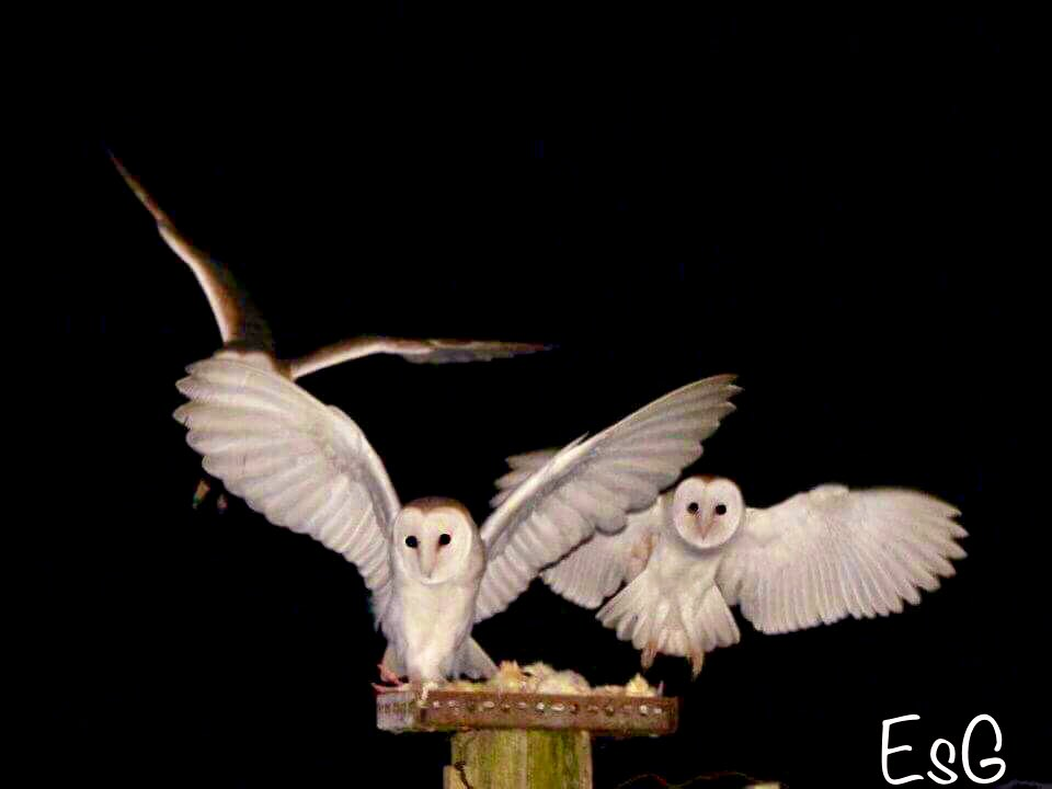 Day 24!! #owl #advent is a previously unpublished photo. Last night I had visitors to watch the owls and they showed superbly. 6 by the house and 6 by the sheds. I love this photo of these brave beautiful night warriors Hope you've enjoyed this #AdventCalendar HAPPY CHRISTMAS <br>http://pic.twitter.com/PSR7c1DH0P