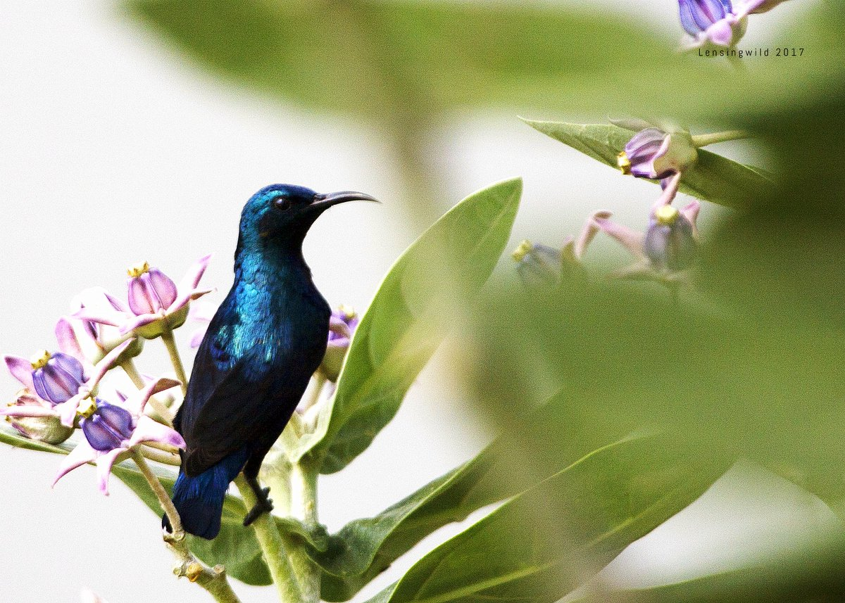 #PurpleSunbird #lensingwild #BirdsOfTamilnadu #birdwatching #birdphotographypic.twitter.com/iyupW0Jei2