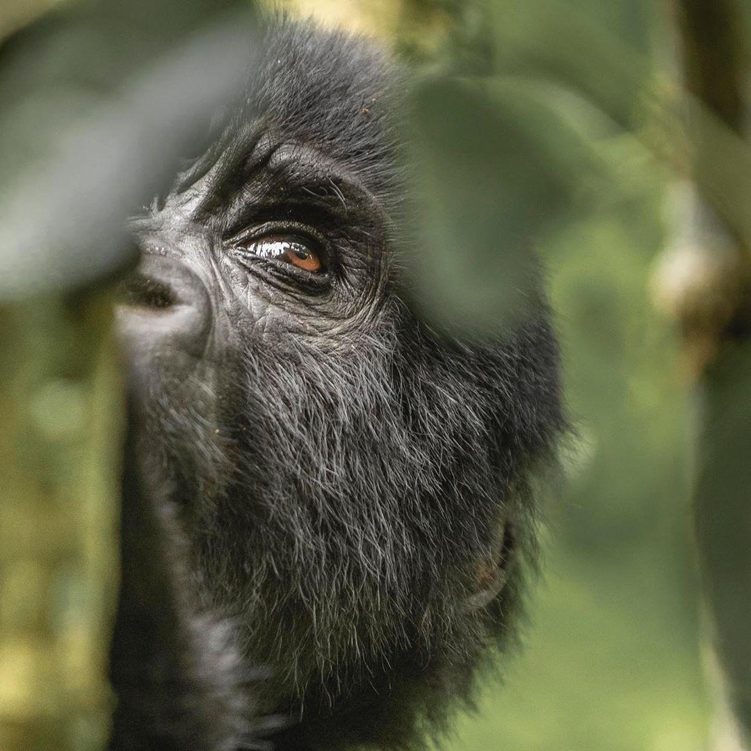 #CelebratingGreatness #Chirstmas #ChristmasEve  The Definitive Uganda Safari Guide; All you need to know about Uganda before you Safari. Click the Link please!👇  https://t.co/VGMQhhmxWn #ugandasafaris #kabiraugandasafaris #safarisuganda #wildlife #gorillas #nature #kabirasafaris https://t.co/NahhrFuMoT